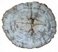 Tischplatte - Scheibe versteinertes Holz, 39,90 KG
